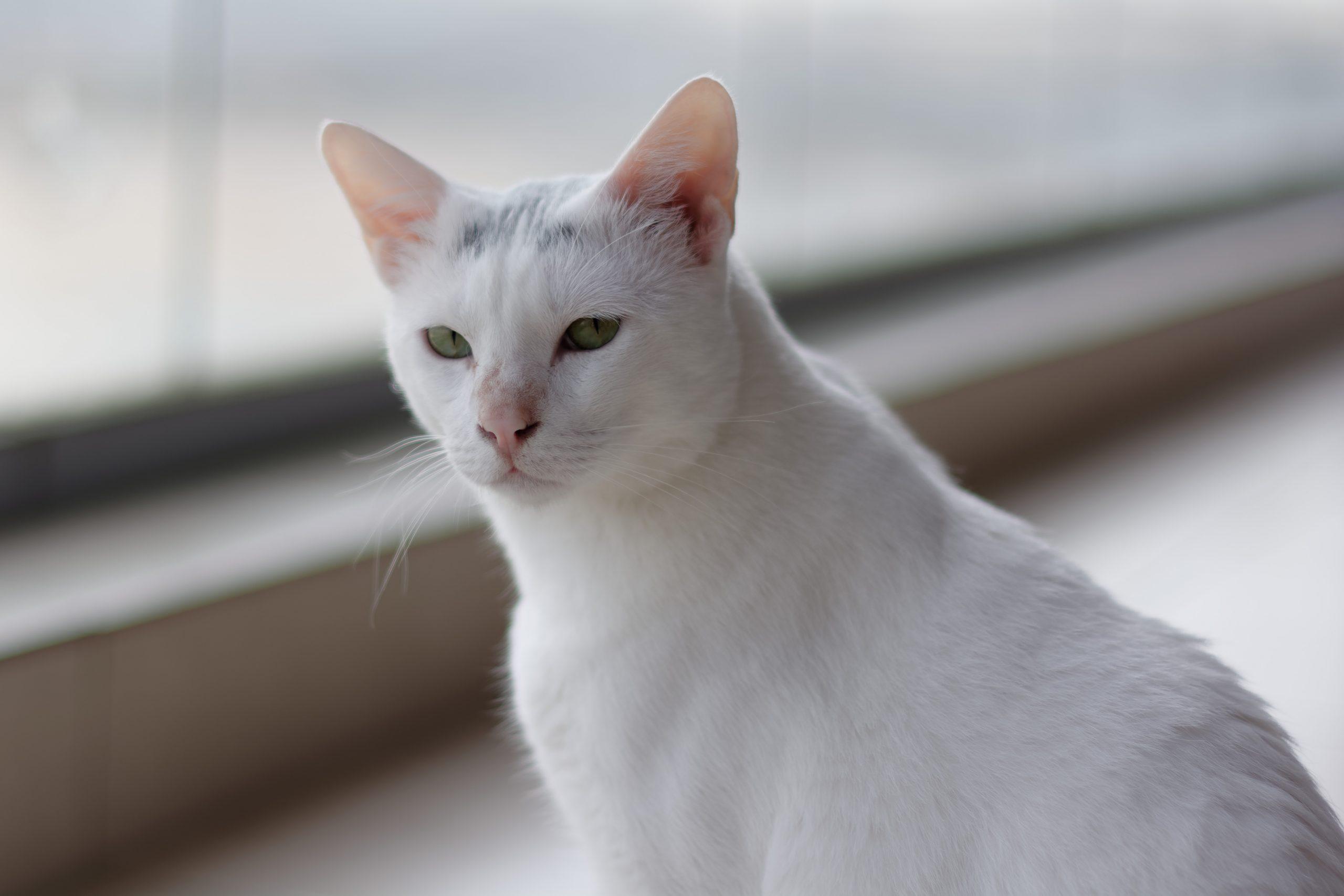 Katze: Snowie